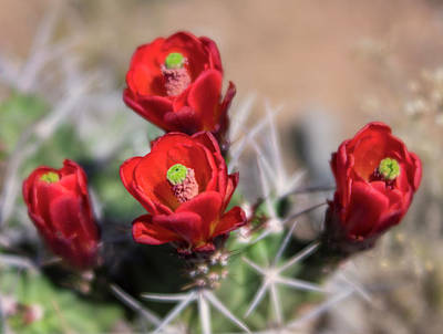 Photograph - Bright Red Claret Cup Cactus Flower Blooms by Barbara Rogers Nature Inspired Art Photography
