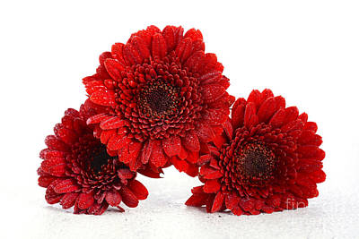 Gerbera Viridifolia Photograph - Bright Red Gerbera Daisy Flowers by Milleflore Images