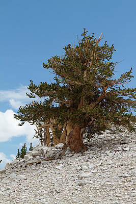 Photograph - Bristlecone Pine 5 by Duncan Selby