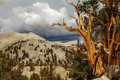 Photograph - Bristlecone Pine Tree 7 by Duncan Selby
