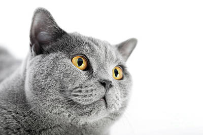 Photograph - British Shorthair Cat Isolated On White. Face Portrait by Michal Bednarek