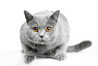 Adorable Photograph - British Shorthair Cat Isolated On White. Hunting by Michal Bednarek