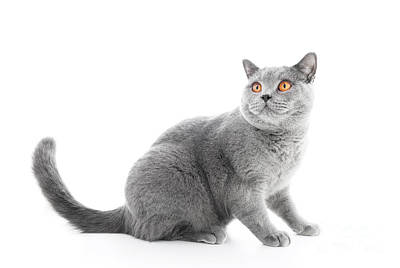 Rest Photograph - British Shorthair Cat Isolated On White. Sitting by Michal Bednarek