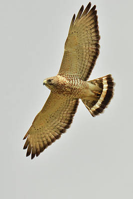 Photograph - Broad-winged Hawk by Alan Lenk
