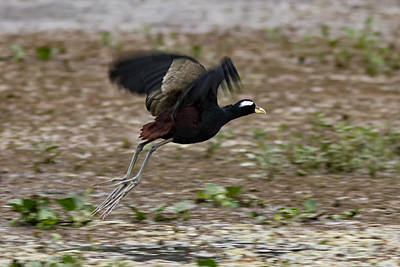 Photograph - Bronze Winged Jacana  by Ramabhadran Thirupattur