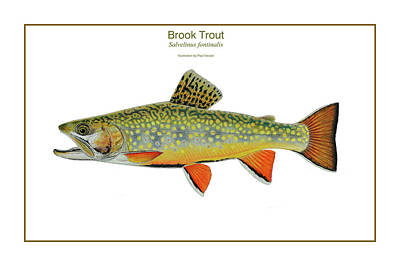 Brook Trout Drawing - Brook Trout by Paul Vecsei