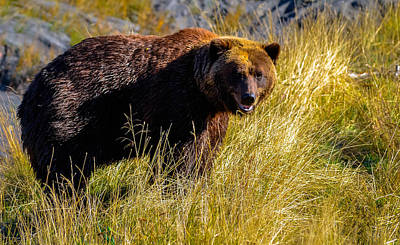 Photograph - Brown Bear by Brian Stevens