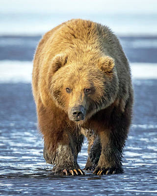 Photograph - Brown Bear by Jack Bell