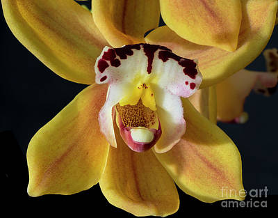 Photograph - Brown Orchids 2 by Glenn Franco Simmons