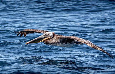 Photograph - Brown Pelican 4 by Endre Balogh