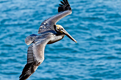 Photograph - Brown Pelican In Flight by Ben Graham