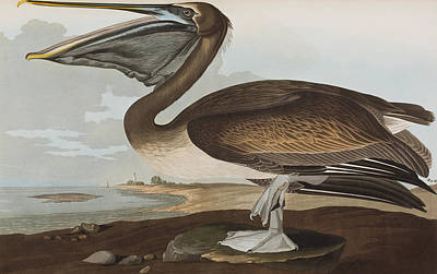 Pelican Drawing - Brown Pelican by John James Audubon