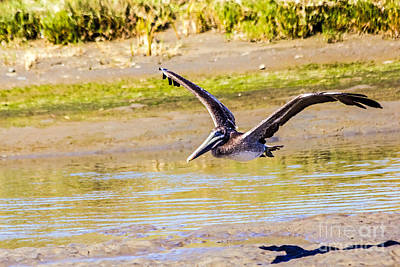 Photograph - Brown Pelican II by Kate Brown