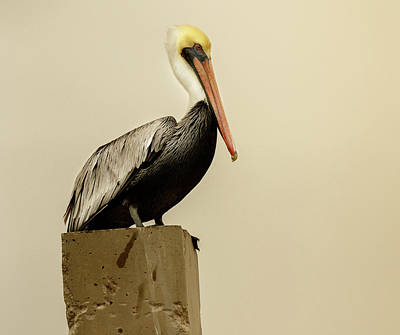 Photograph - Brown Pelican by Les Greenwood