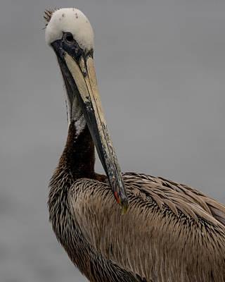 Photograph - Brown Pelican Portrait by Ernie Echols