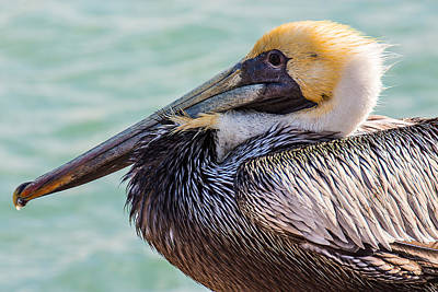 Photograph - Brown Pelican by Richard Goldman