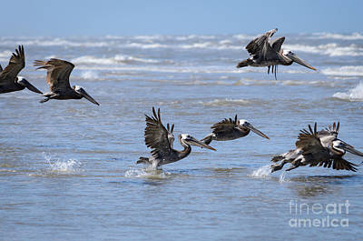 Photograph - Brown Pelicans In Flight by Debra Martz