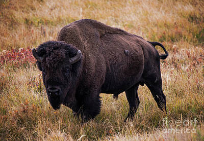 Photograph - Buffalo by Juli Scalzi
