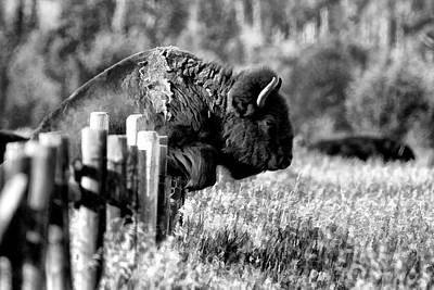 Photograph - Buffalo Jumping Fence by Chris LeBoutillier