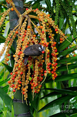 Swallow Photograph - Bulbul Eating Palm Fruit by Fletcher & Baylis