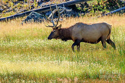 Photograph - Bull Elk by Ben Graham
