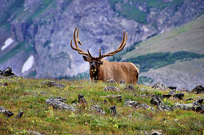 Photograph - Bull Elk by Bill Hosford