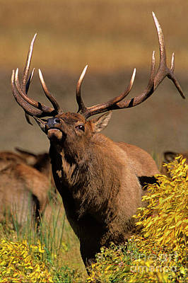 Photograph - Bull Elk Cervus Elaphus Wild Wyoming by Dave Welling