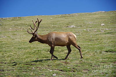 Photograph - Bull Elk On The Move by Jeff Swan