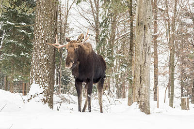 Photograph - Bull Moose by Josef Pittner