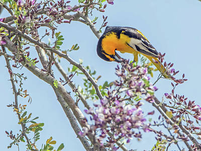 Photograph - Bullocks Oriole 8016 by Tam Ryan