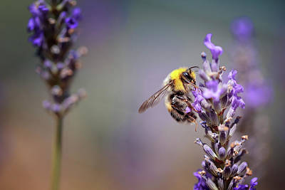 Violet Bloom Photograph - Bumblebee And Lavender by Nailia Schwarz