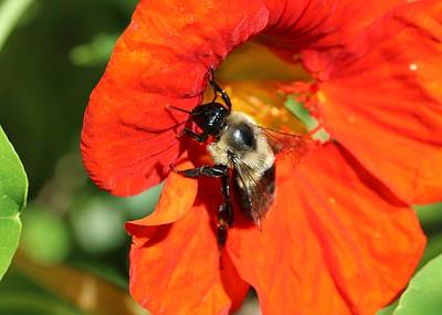 Photograph - Bumblebee On Nasturtium by Lucinda VanVleck