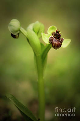 Photograph - Bumblebee Orchid, Ophrys Bombyliflora by Perry Van Munster