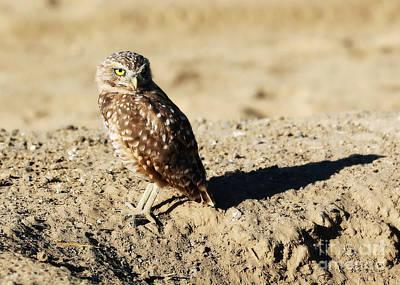 Photograph - Sweetest Burrowing Owl  by Carol Groenen