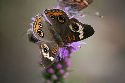 Buckeye Butterfly Art Print by Cathy Harper
