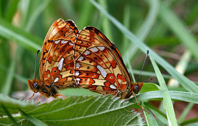 Butterfly Photograph - Butterflies by Jan Boesen