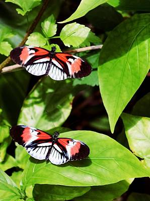 Photograph - Butterflies by Sandy Taylor