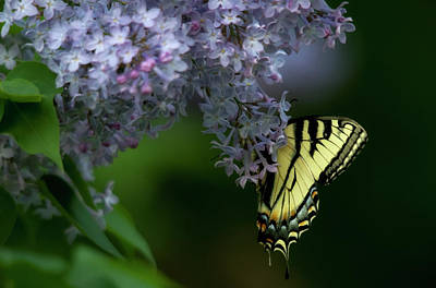 Photograph - Butterfly - Papillon by Michel Legare