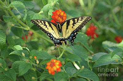 Photograph - Butterfly And Flower by Debra Crank