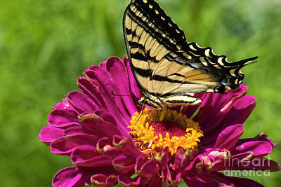 Photograph - Butterfly On Fuschia Flower by Jim And Emily Bush