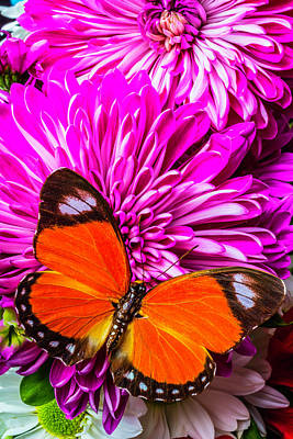 Butterfly On Pink Mums Art Print by Garry Gay