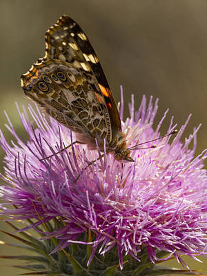 Photograph - Butterfly On Thistle by Jean Noren
