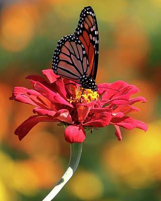 Photograph - Butterfly On Zinnia by Harold Rau
