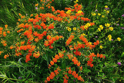 Photograph - Butterfly Weed - Oxeye by Ray Mathis