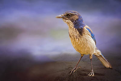 Photograph - Blue Scrub Jay by Maria Coulson