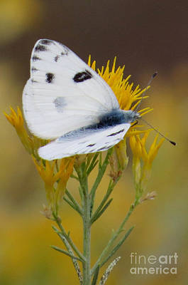 Photograph - Cabbage White by Frank Townsley