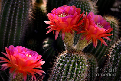 Photograph - Sonoran Spring by Deb Halloran