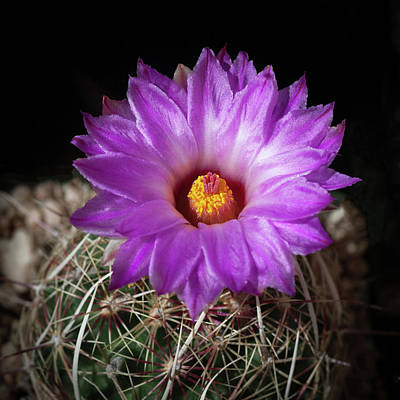 Photograph - Cactus Flower  by Catherine Lau
