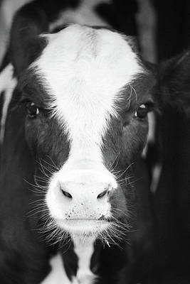 Photograph - Calf by Tiffany Erdman