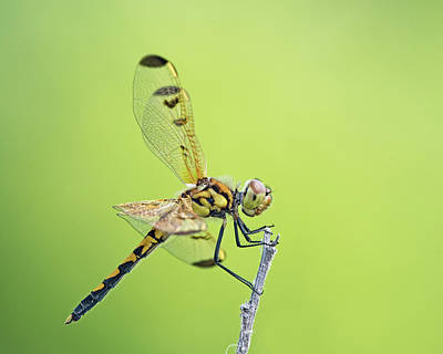 Photograph - Calico Pennant by Jim Zablotny
